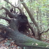 Tree Stump In Shepherdleas Wood