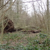 Fallen Tree In Big Wood