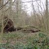 Fallen Tree In Big Wood