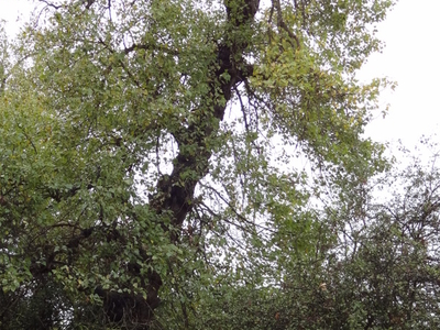 A Black Poplar In The Chase