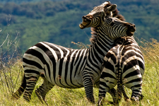 Dueling Zebras At Ngorongoro Crater