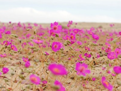 Flowering Desert In Barranquilla