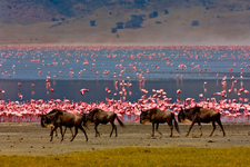 Flamingo And Wildebeest At Ngorongoro Crater
