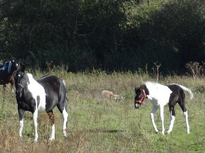Horses In Western Field