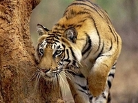Indian Tiger On The Prowl Wallpaper  Yvt2