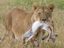 Lion With A Kill