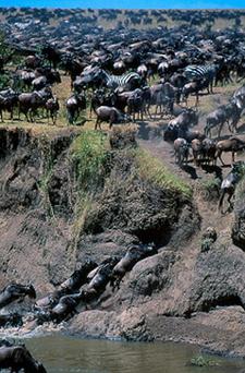Wildebeests Stampede Crossing River