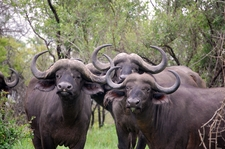 Buffalo800x600