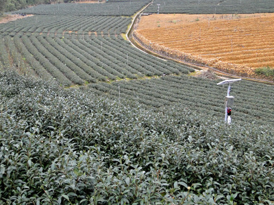 Tea Plantation In Pinglin District