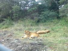 Deux Lionnes