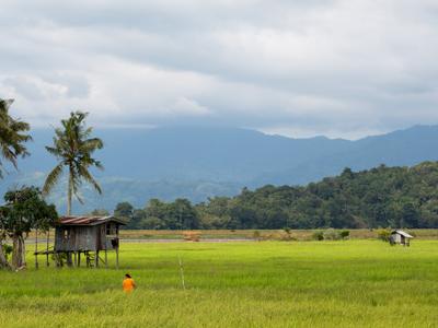 Kota Belud Sabah Rice Padi