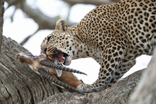 Leopard Biting Gazelle Seronera Serengeti Tanzania