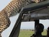 Ngorongoro Cheetah