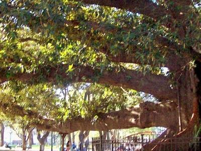 Plaza San Martín's Great Ombú Tree