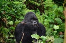 Silverback Gorilla 4