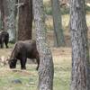 Takin 2 C Thimphu Mini Zoo
