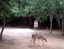 Axis Axis Spotteddeer At Kambalakonda Visakhapatnam