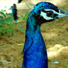 Indian Peafowl Kambalakonda Visakhapatnam