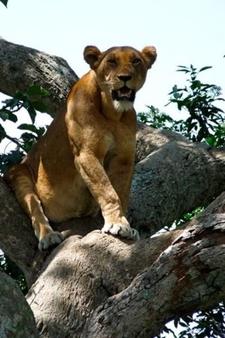 Lion Tree 8
