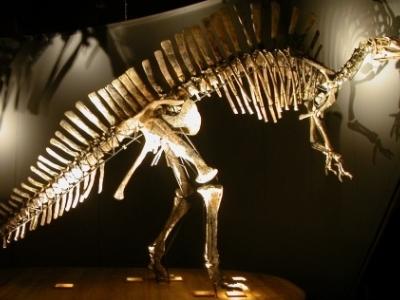 Dinosaur Skeleton At The Museum