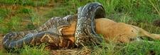 Python Eating An Entire Wildebeest