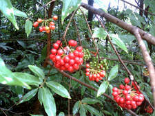 Sorbus Insignis Rowan Red Beries Bunch Kambalakonda Visakhapatnam