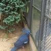 Crowned Pidgeons At Artis
