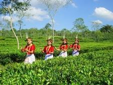 Tea Garden Sreemangal 3