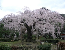 Cherry Blossoms At Maruyama Park