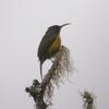 A Sunbird In Mount Apo