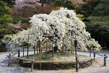 Sengan-zakura
