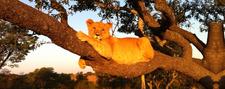 Tree Climbing Lion Tanzania