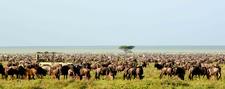 Wildebeest Migration In Sarengeti