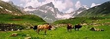 Cows Dodpathri