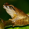 Critically Endangered Pseudophilautus Amboli In Mhadei Wildlife Sanctuary