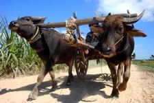 Sunsai Waterbuffalo Cart Tours Main