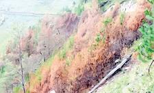 Hutan Pinus Di Perbukitan Tele Samosir Terbakar 389