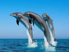 Chilika Dolphin