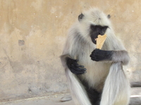 Monkeying Around With An Ice Cream Cone -- Jaipur, India