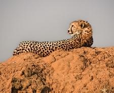 Masai Cheetah