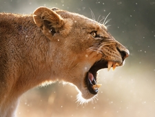 Angry Female Lion 1600x1200