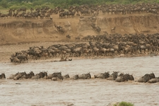 The Great Wildebeest Migration Crossing Mara River In Serengeti