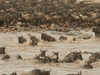 That Time Of The Year Where Tens Of Thousands Of The Great Wildebeest Migration Crossing Mara River Back And Forth.