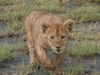 This Young Cub Was Stalking His Brother In Southern Part Of Serengeti.