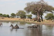 Zebra In Tarangire National Park.