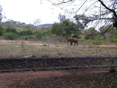 An Elephant In Its Natural Environment