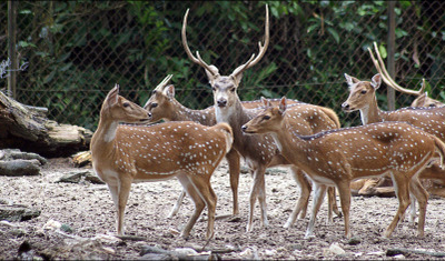 Chital Spotted Deer Male And Females