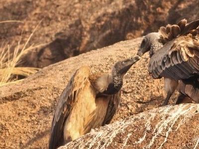 Courtship Between Two Indian Vultures