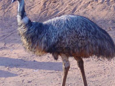 Emu At  Dreamworld