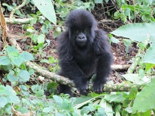 Gorillas Rwanda1